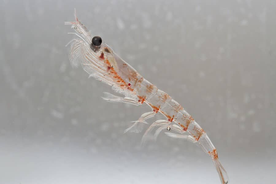 Antarctic Krill In The Water