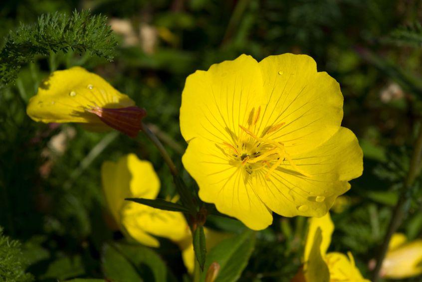 botanical supplements