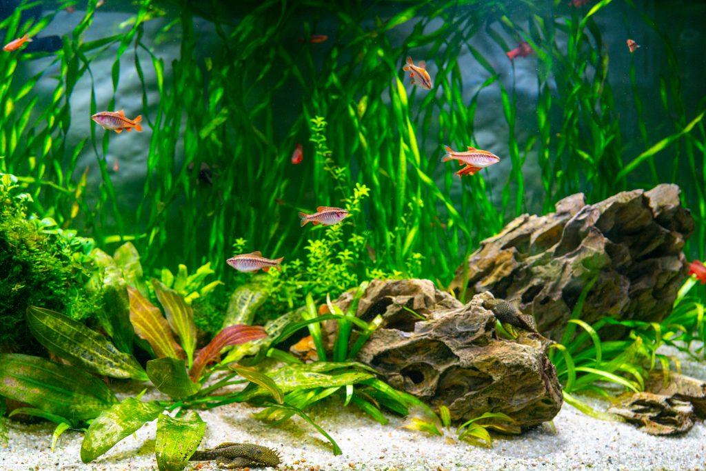 Aquarium fish and algae in a freshwater aquarium.